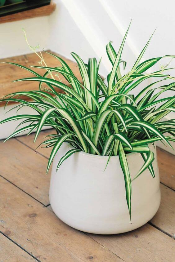 The Best Undemanding Outdoor and Indoor Plants for Busy People, Chlorophytum