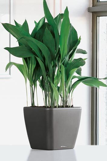 The Best Undemanding Outdoor and Indoor Plants for Busy People,Aspidistra