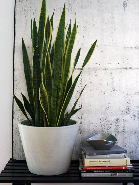The Best Undemanding Outdoor and Indoor Plants for Busy People, Mother-in-Law's Tongue